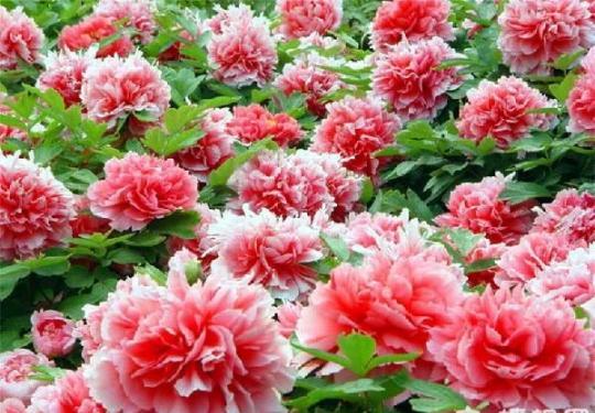 2014北京牡丹花节4月下旬在景山公园开幕