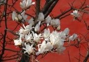 4月北京哪里好玩 北京5大玉兰观赏地