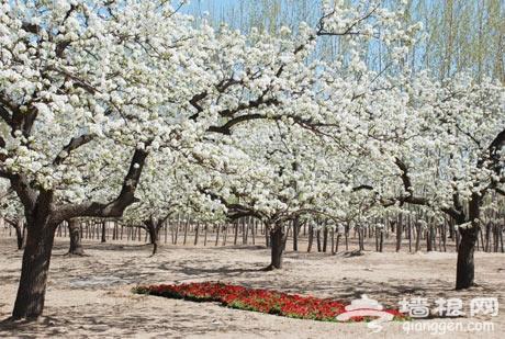 北京房山琉璃河梨花节图片