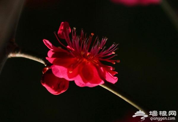 春日赏梅就去鹫峰国家森林公园