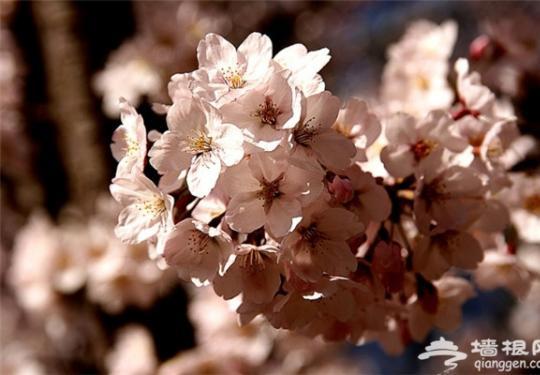 北京去哪看樱花?在北京赏樱花,绚烂尽在你身边!