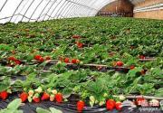 昌平草莓采摘哪里好 北京周边摘草莓喽!