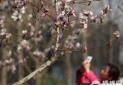 北京春季公交赏花专线发布 周六植物园桃花节开幕