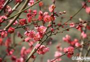 2019明城墙遗址公园梅花节(时间+地点+看点)