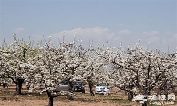 4月赏梨花去哪儿 盘点北京周边赏梨花地