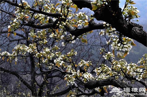 4月赏梨花去哪儿 盘点北京周边赏梨花地[墙根网]