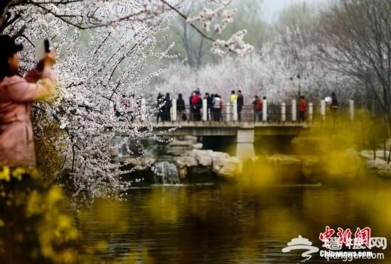2014第二十六届北京桃花节在北京植物园开幕[墙根网]
