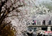 2014第二十六届北京桃花节在北京植物园开幕