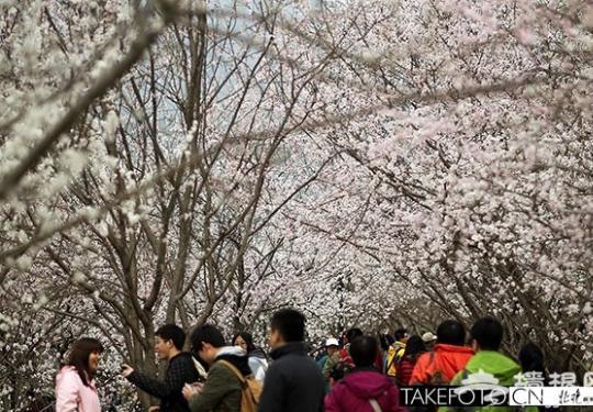 2014平谷桃花節今年首推文玩大集 預測4月8日可賞花