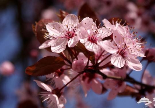 北京春季赏花大盘点 按着月份去赏花