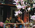 潭柘寺今年春来早 二乔玉兰节提前举办