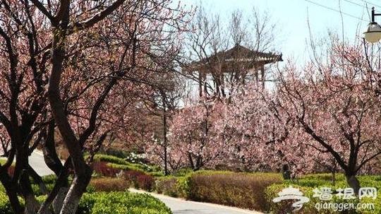 2014北京杏花开了吗?北京哪里可以赏杏花