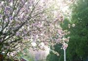 中山公园海棠花盛放