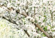 2014元大都城垣遗址公园第十七届海棠花节开幕