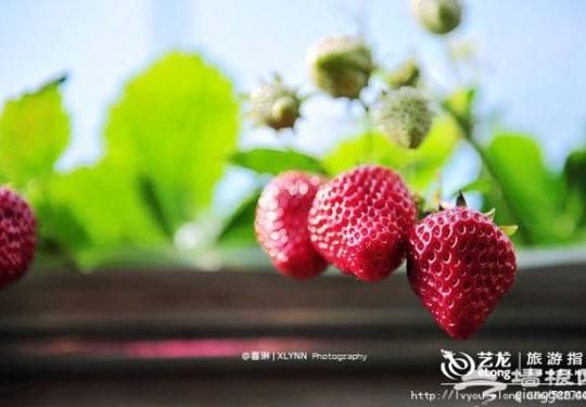 北京昌平春季草莓采摘游记分享 采草莓品尝农家菜