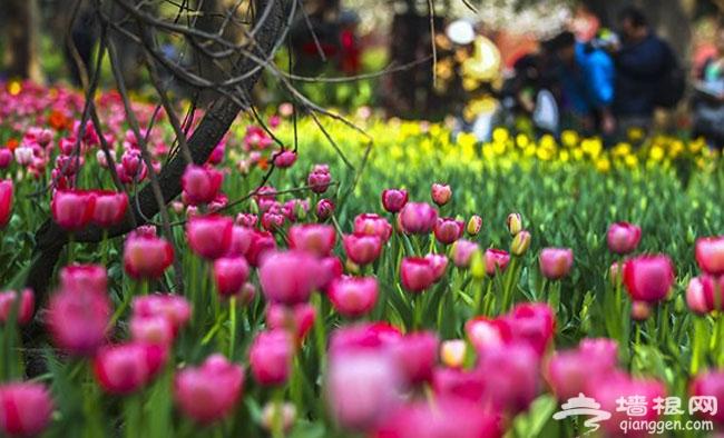 2014北京五一赏花好去处 2014北京中山公园郁金香花展