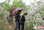 2014怀来海棠花节开幕 官厅湖畔万亩海棠花吸引骑行客