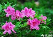 京郊云蒙山杜鹃花 姹紫嫣红又一春