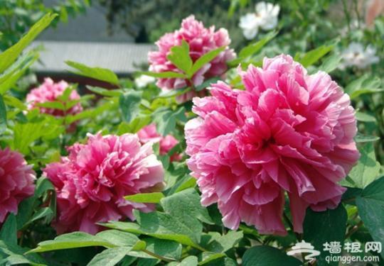 五一京郊游:踏青 赏花 采摘
