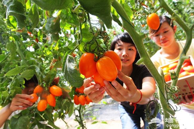 金福艺农番茄联合国 绿色食品新鲜采摘