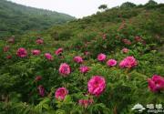 2014妙峰山玫瑰节25日举办