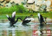 圆明园黑天鹅水中嬉戏等你来拍