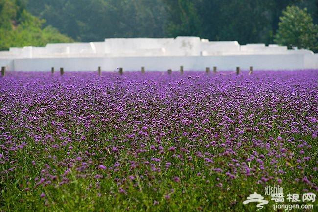 紫海香堤香草艺术庄园 闻香识色浪漫之约