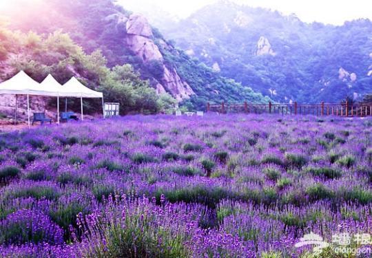 紫色幻想 盘点京郊四大薰衣草基地