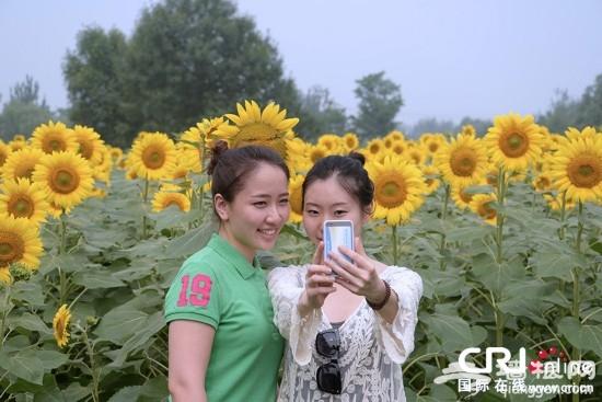 北京奥林匹克森林公园百亩葵花绽放迎客