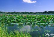 炎炎夏日寻阴凉 白洋淀旁戏水游