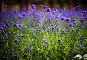 2014七夕节最浪漫的约会场所 蓝调薰衣草庄园满满的紫色浪漫