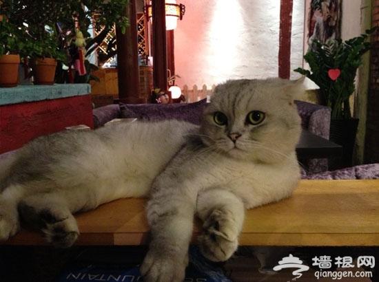喵星人出没!那些京城里萌猫镇宅的餐厅