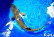 6尾沙虎鲨落户北京海洋馆 国庆前夕将与观众见面