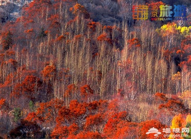 2014北京入秋赏红叶 京城红叶哪里红