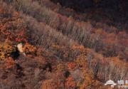 京郊北极的秋色 喇叭沟门桦树林唯美无边