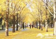 2014地坛第二届银杏节将于10月24日举办