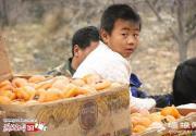 保定易县2亿斤柿子滞销 十天不摘将烂地里