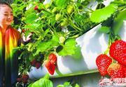 京城冬季第一波草莓开始采摘上市啦!