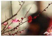 2015年鹫峰梅花开 春节赏梅花好去处