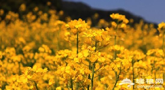 春暖花开 追寻童年里的那些油菜花