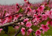 2015北京踏青好去处:京郊密云赏樱桃花