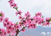 北京桃花节 来京城做个唐伯虎般的桃花仙人
