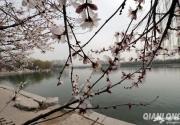 玉渊潭公园早樱绽放 周末迎最佳观赏期