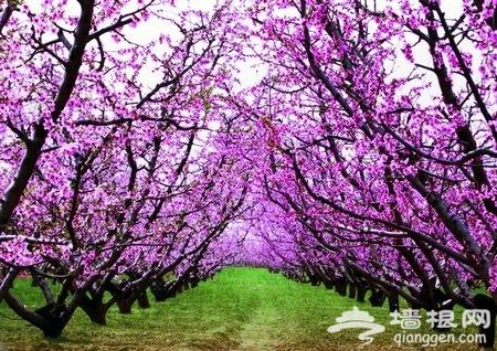 北京周邊賞桃花最好的地方 2015平谷桃花節攻略