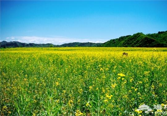 北京看油菜花5月最佳 北京最美油菜花观赏地推荐