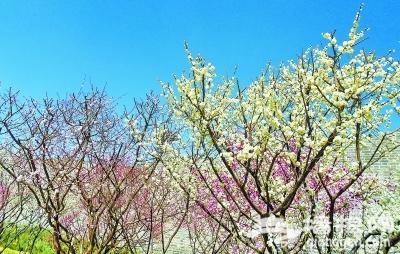 京城景区赏花 梅花是何时移植到北京的