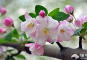 2015元大都海棠花节
