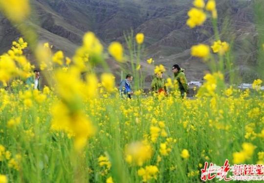 海淀700亩稻田油菜花盛开 五一将迎盛花期