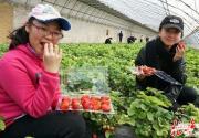 """昌平草莓五一遭遇""""滑铁卢"""":种植户守着大棚等不来采摘客"""