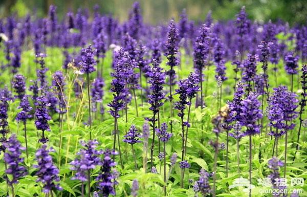 怀柔月牙湾薰衣草庄园 京郊的紫色天堂